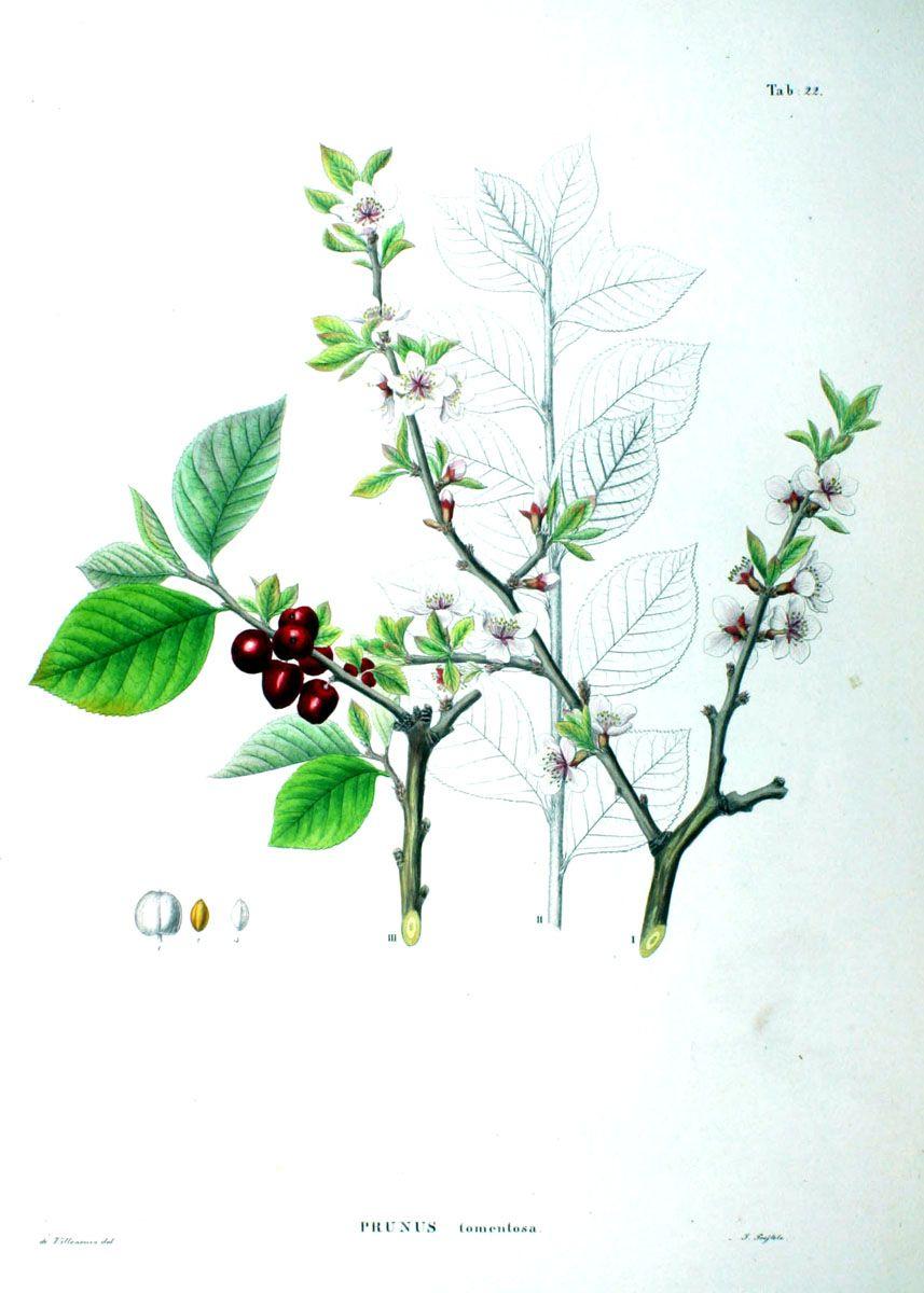 Flora Japonica, Sectio Prima (Tafelband) (1870)
