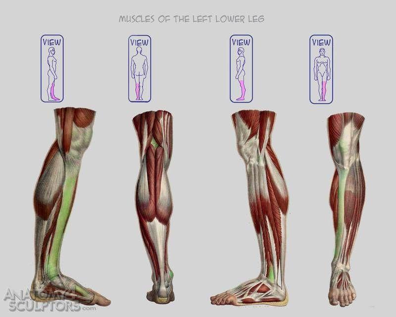 Anatomy For Sculptors | Для рисования | Pinterest | Anatomía ...