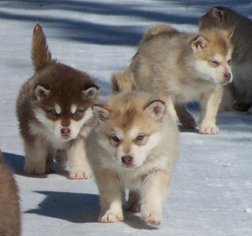 Huskee Puppies 3 D Perros Bonitos Perros Huskies Siberianos