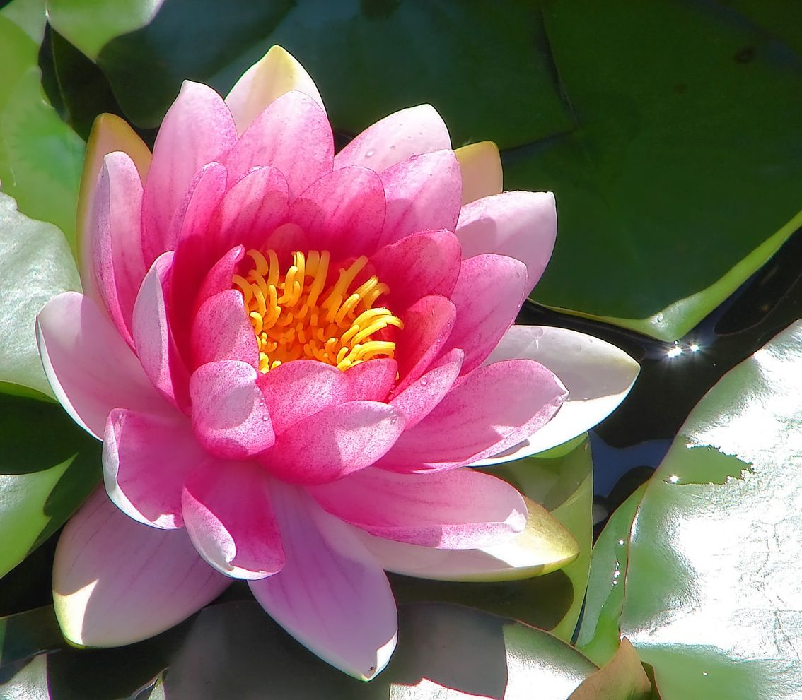 water lily (July) Flower pictures, Beautiful flowers