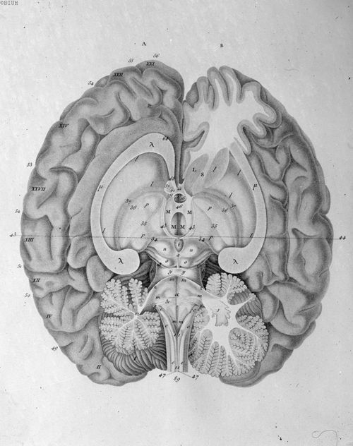 brain / Anatomical <3   Anatomical   Medical illustration