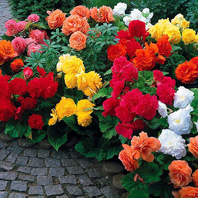 Amazon Com Begonia Non Stop Mix 5 Bulbs Brilliant Color Throughout Summer And Fall Garden Outdoor Plants Perennial Flowering Plants Begonia