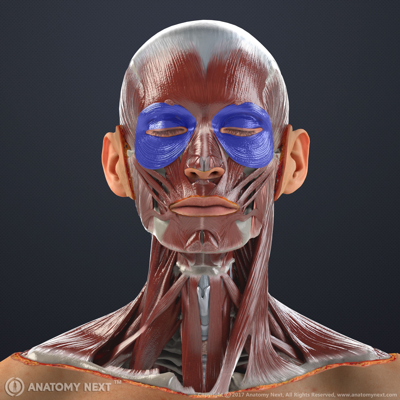 The Orbicularis Oculi muscle #anatomy #muscles #medicine   Cuerpo ...