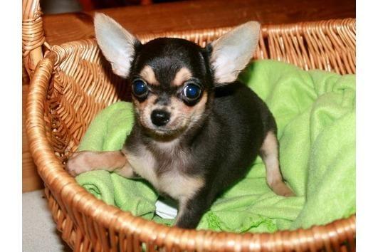Bildschone Chihuahua Welpen Lang Und Kurzhaar Auch Schoko Chihuahua Welpen Chihuahua Lustige Tiere