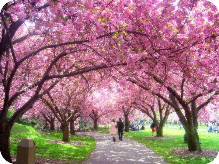 Walking Under Sakura Bunga Sakura Taman Jepang Gambar Bunga