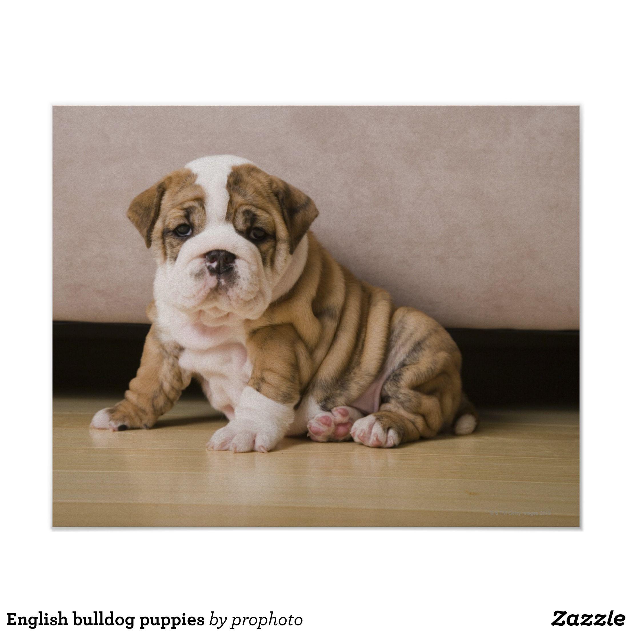 English Bulldog Puppies Poster Zazzle Com Bulldog Puppies