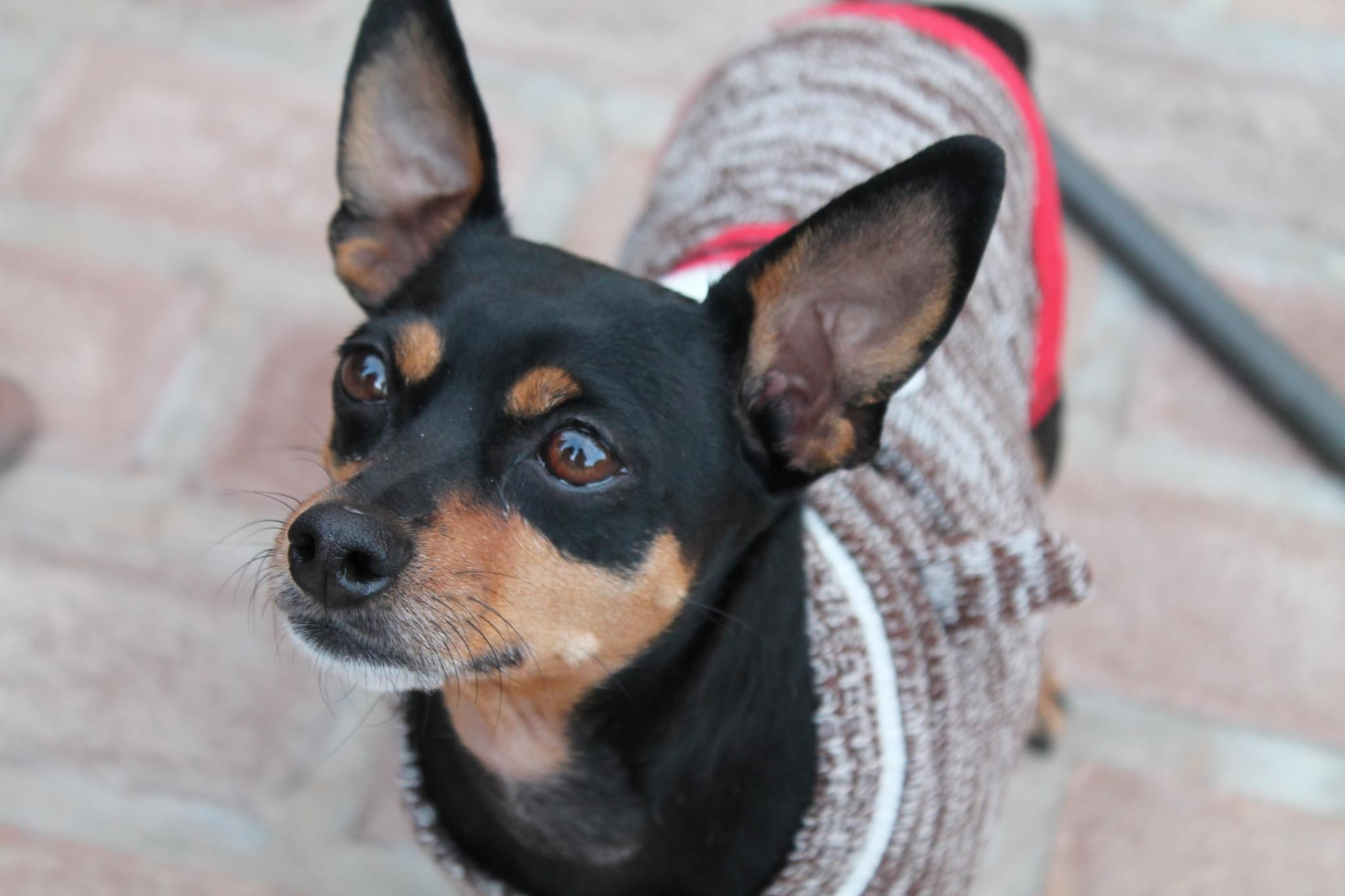 Beagle Mix Min Pin Mix Adopted And Medical Problems Fixed 3