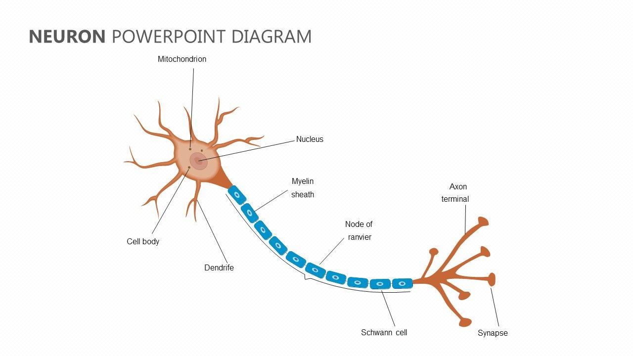 Neuron Powerpoint Diagram Neuron Diagram Neurons Diagram