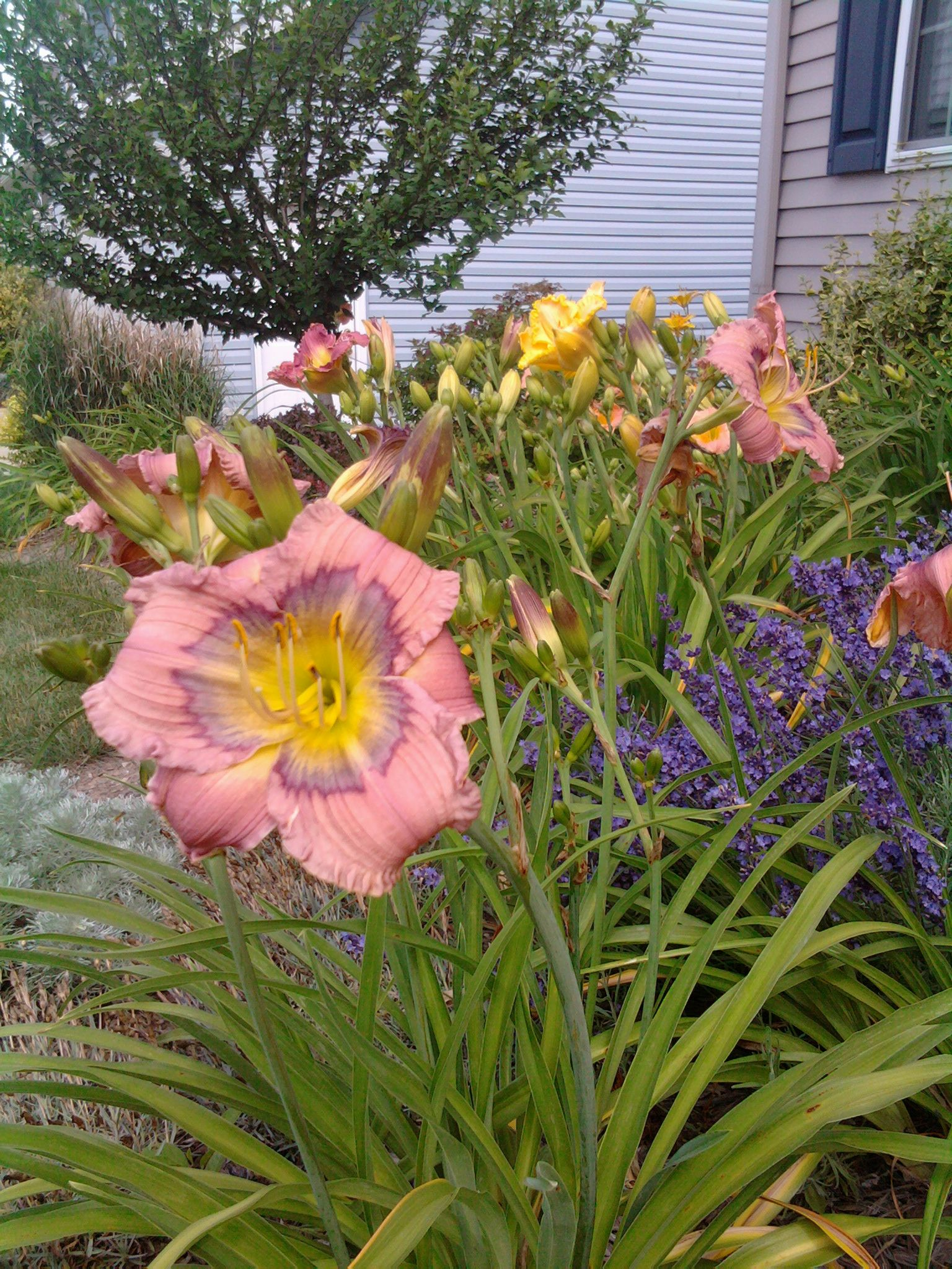 """Daylily, """"Dragon Dreams"""" with lavender and other daylilies in the background."""