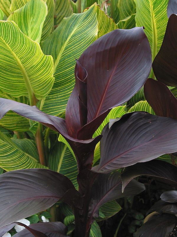 Canna Tropicanna Black Gold Lily Shade Foliage Plant Wait I Thought These Were Full Sun Plants