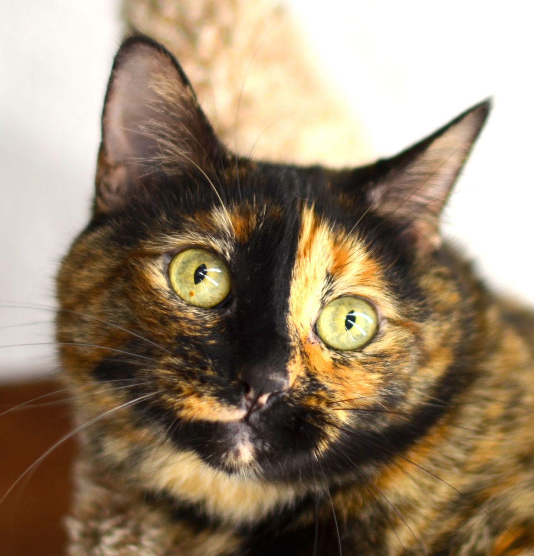 Adopt Sabrina 1960 I 45 Petsmart On Fur Babies Cat Lovers Cats