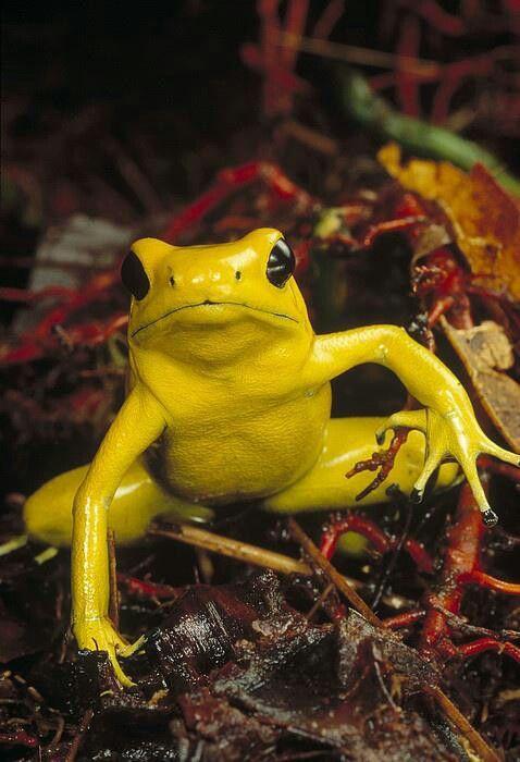 Golden Poison Dart Frog Zabka Poison Dart Frogs Cute Frogs