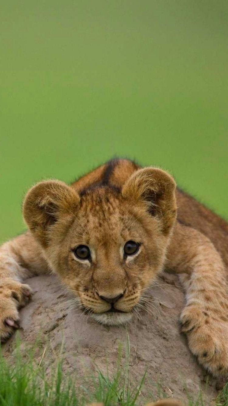 Cute Lion Cubs Wallpaper Wallpapers Pinterest Live Wallpapers