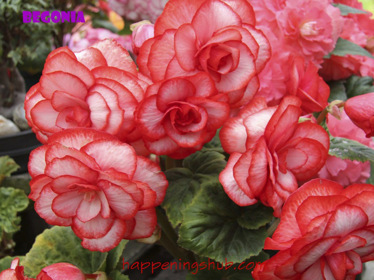 Wallpaper Begonia Flowers R Annual Plants Uses For White Vinegar Flowers