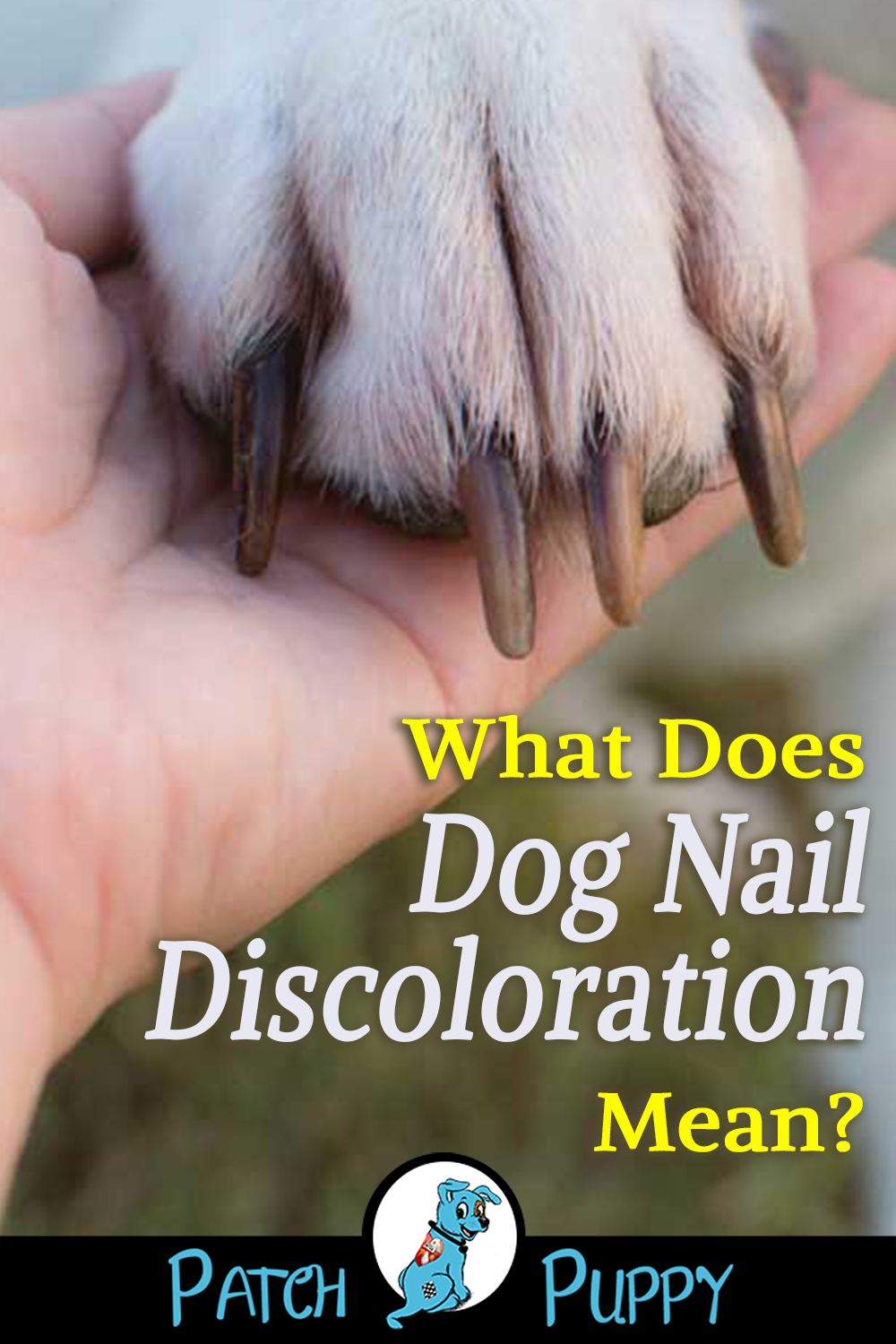 What Does Dog Nail Discoloration Mean Patchpuppy Com Dog Nails Nail Discoloration Dog Toenails