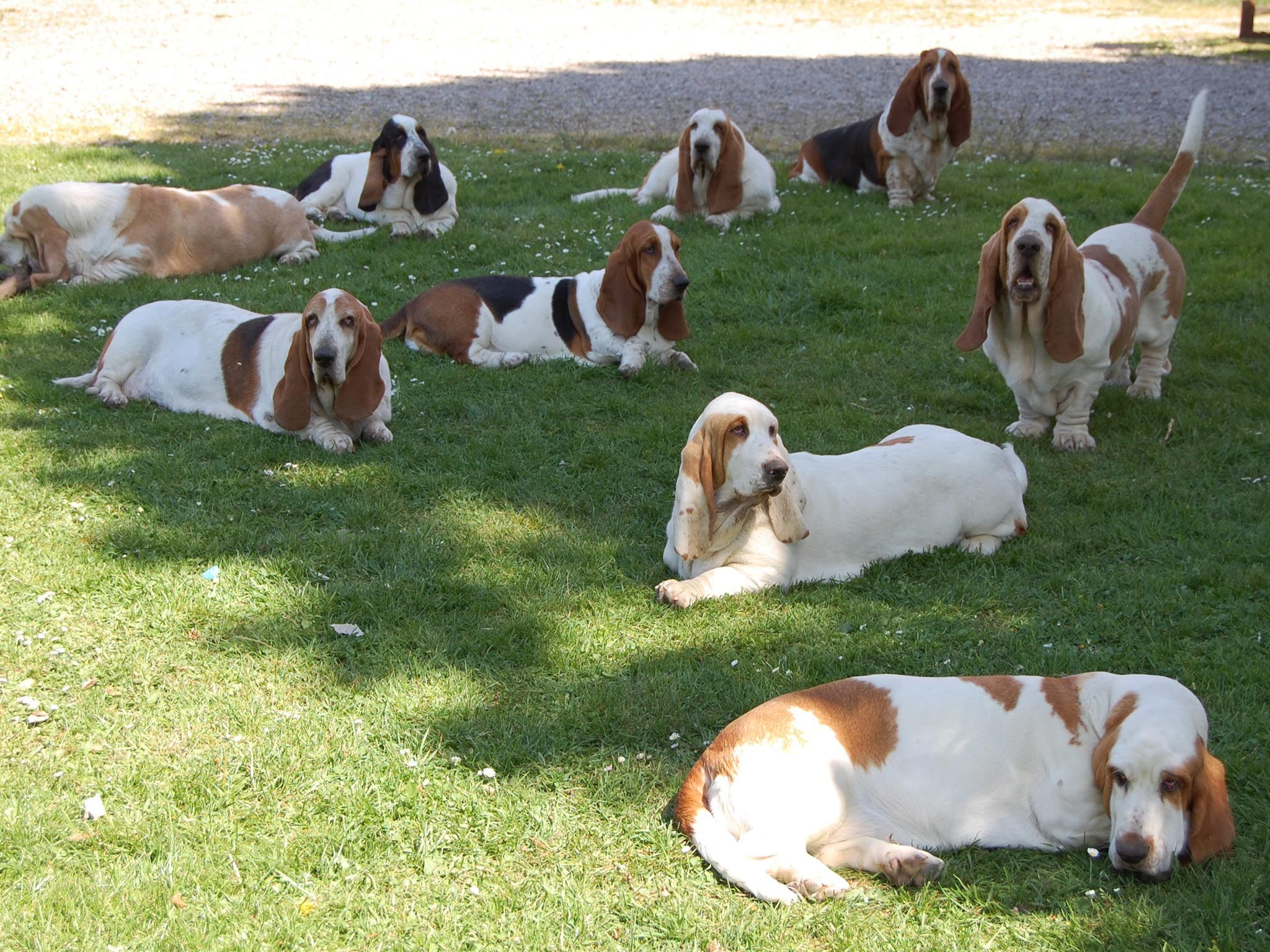Can you imagine waking up to find 50 bassets relaxing in ...