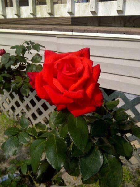 Dolly Parton Rose My Garden Rose House Plants Plants