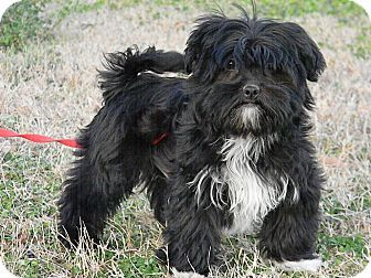 Shih Tzu Yorkie Yorkshire Terrier Mix Puppy For Adoption In