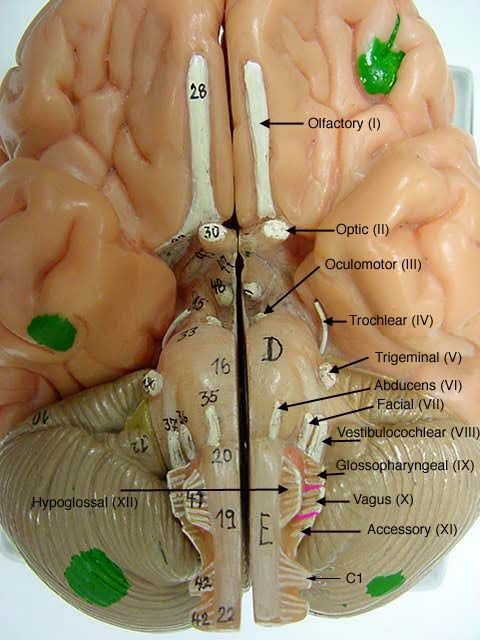 cranial nerves on models labeled brain model (somso) human