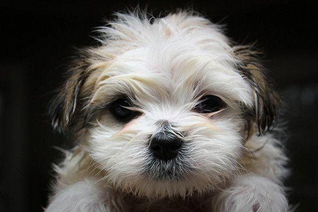 Maltese Shihtzu Maltese Shih Tzu Shih Tzu Dog Shih Tzu Puppy