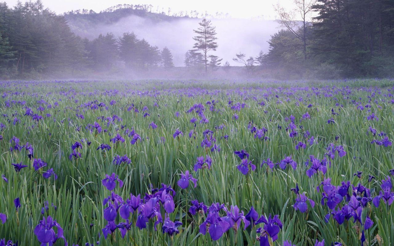 Fields Of Purple Iris My Dream For The World Iris Flowers Wild Flowers Garden Pictures