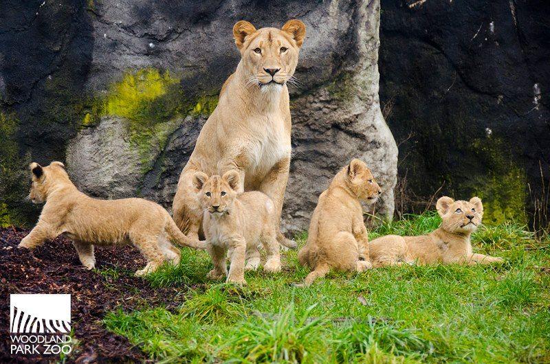 Lions Born At Woodland Park Zoo Woodland Park Zoo Seattle Wa Baby Lion Cubs Woodland Park Zoo Baby Zoo Animals