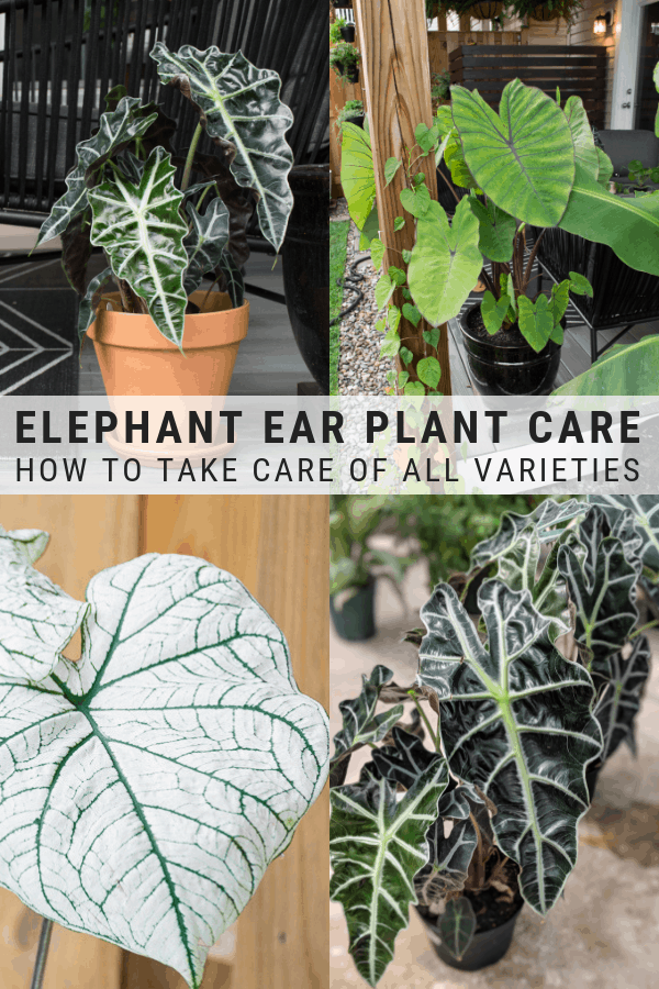 Elephant Ear Plant Care Guide With Images Elephant Ear Plant