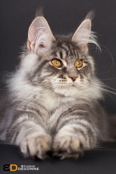 Épinglé sur maine coon, norwegian forest cat, siberian ...