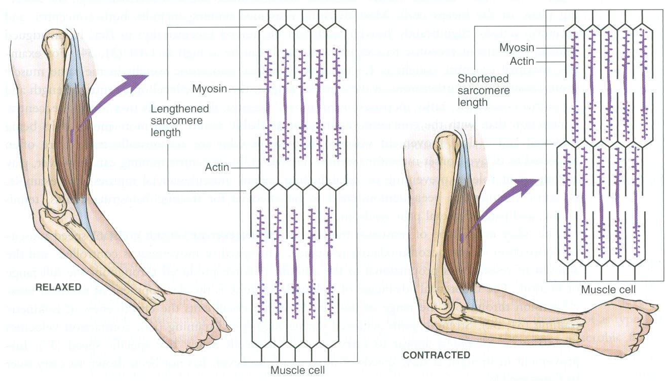 Muscle Contraction And Relaxation At The Sarcomere Level Exercise Physiology Physiology Muscle Anatomy