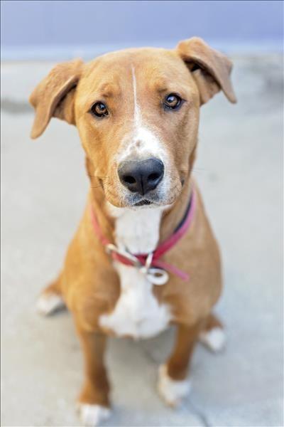 Candy Ridgeback X Bull Arab Dog Love Animal Welfare League Animals