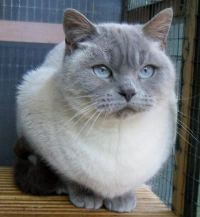 Lilac Colour Point British Shorthair British Shorthair Cool