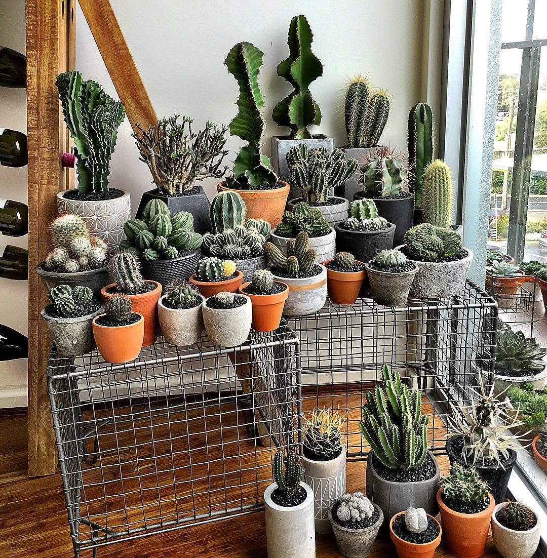 Small Long Tall Short Round Fat And Skinny Something For Everyone - Japan is going mad over these tiny succulents that look like bunny ears