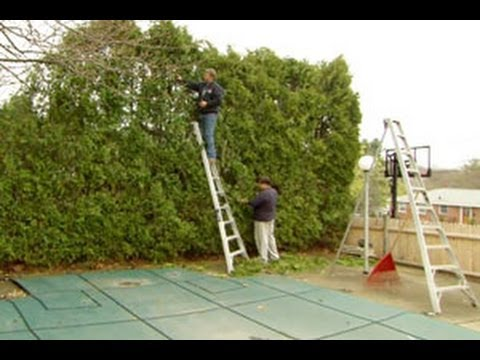 How To Prune An Overgrown Hedge This Old House Youtube With Images Arborvitae Landscaping Hedges How To Trim Bushes