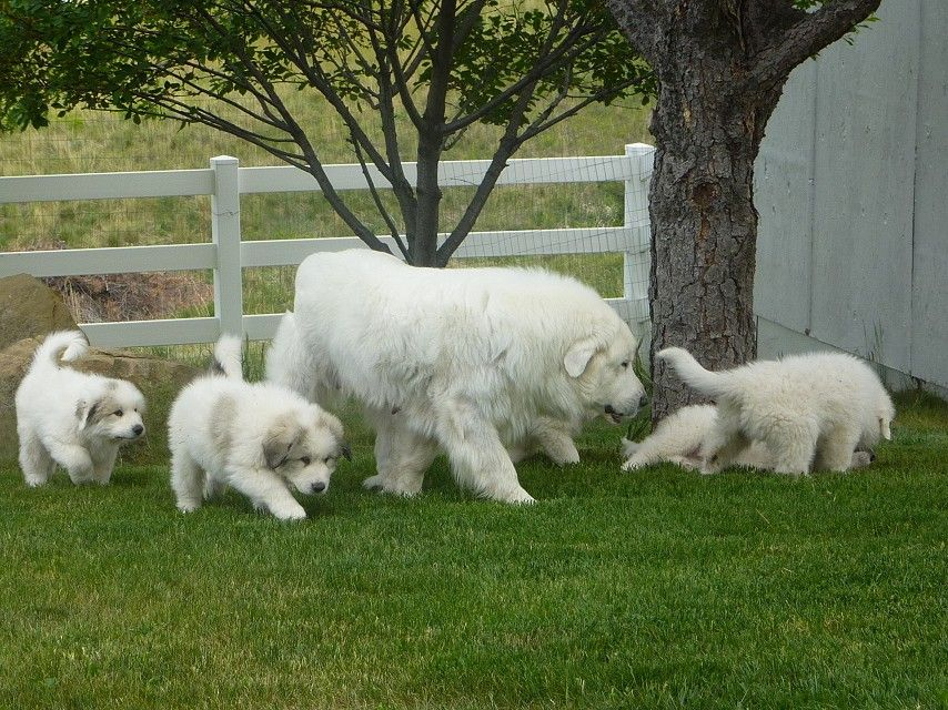 Great Pyrenees Bear Dog He S Coming For You Bear Dog He Ll Run