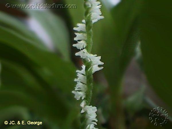 Spiranthes sinensis