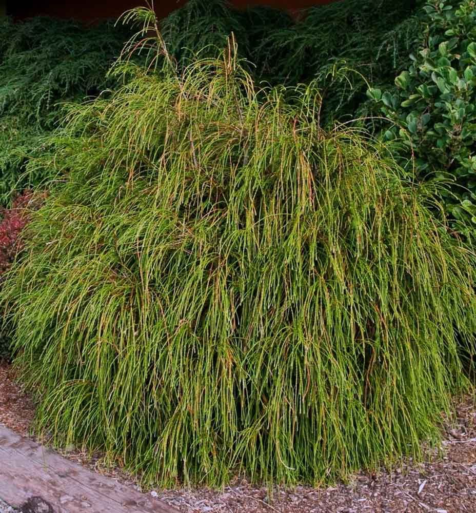 Whipcord Western Arborvitae Red Cedar Evergreen Shrub