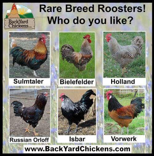 Chickens Backyard, Raising Chickens, Chickens