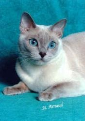 Pin By Janet Buckingham On Beyond Cute Tonkinese Kittens Tonkinese Kittens For Sale Kittens