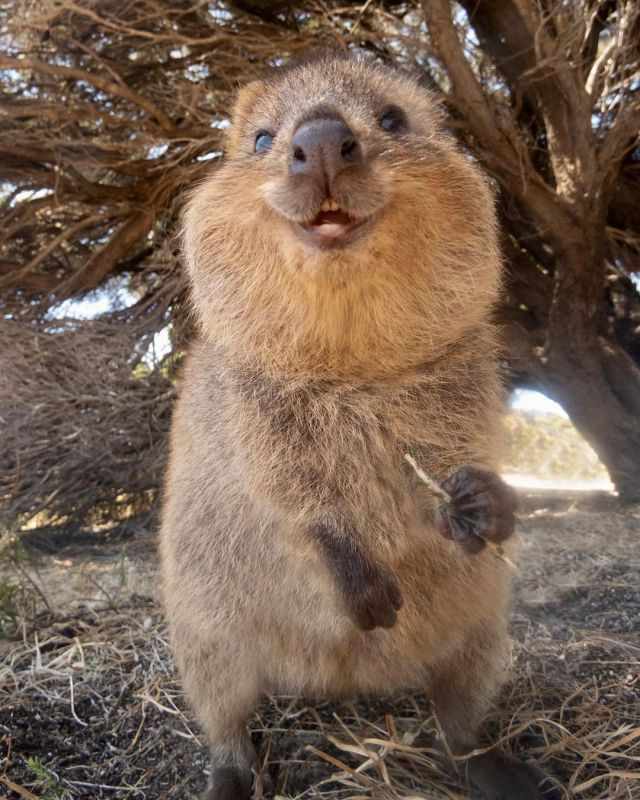The Best Is Yet to Be in 2020 | Quokka, Cute animals, Animals