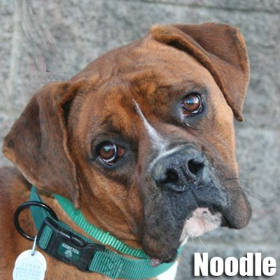Noodle. Available for adoption at LA's Boxer Rescue. www