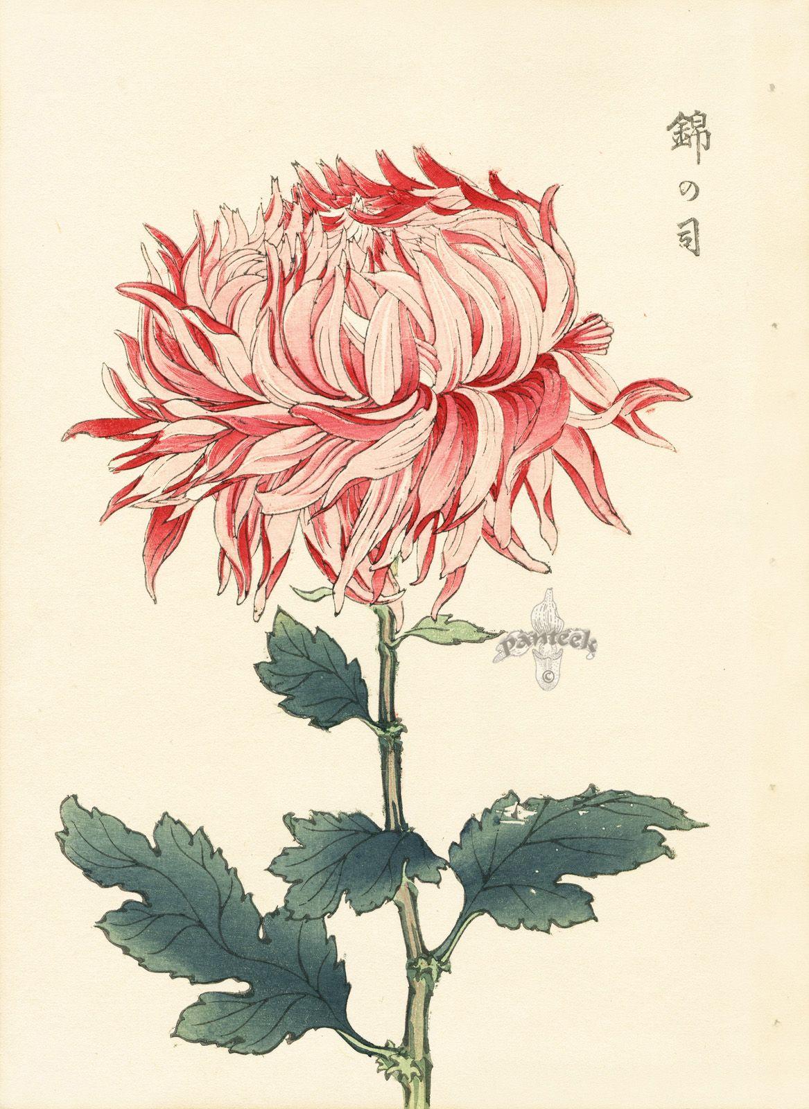 Pin By De Jay On Graphics Botanicals Botanical Drawings Japanese Woodblock Printing Japanese Chrysanthemum