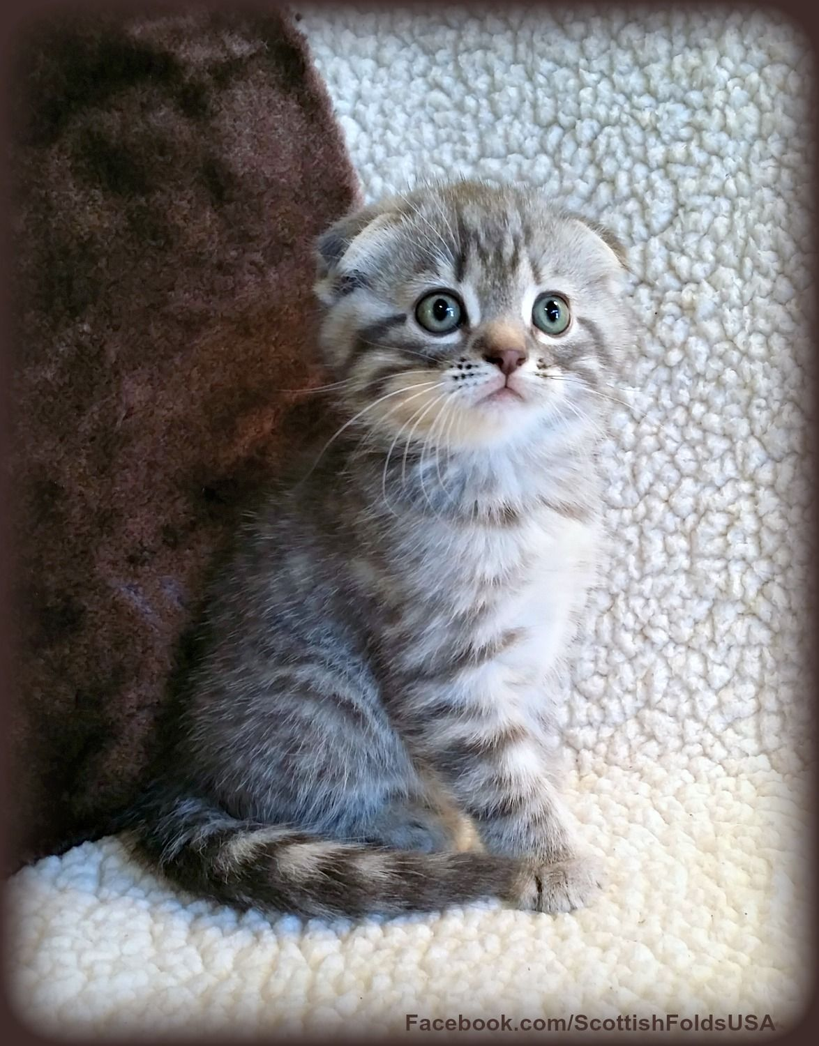 Scottish Fold Munchkin Cat. Scottish Kilt Cat. Non