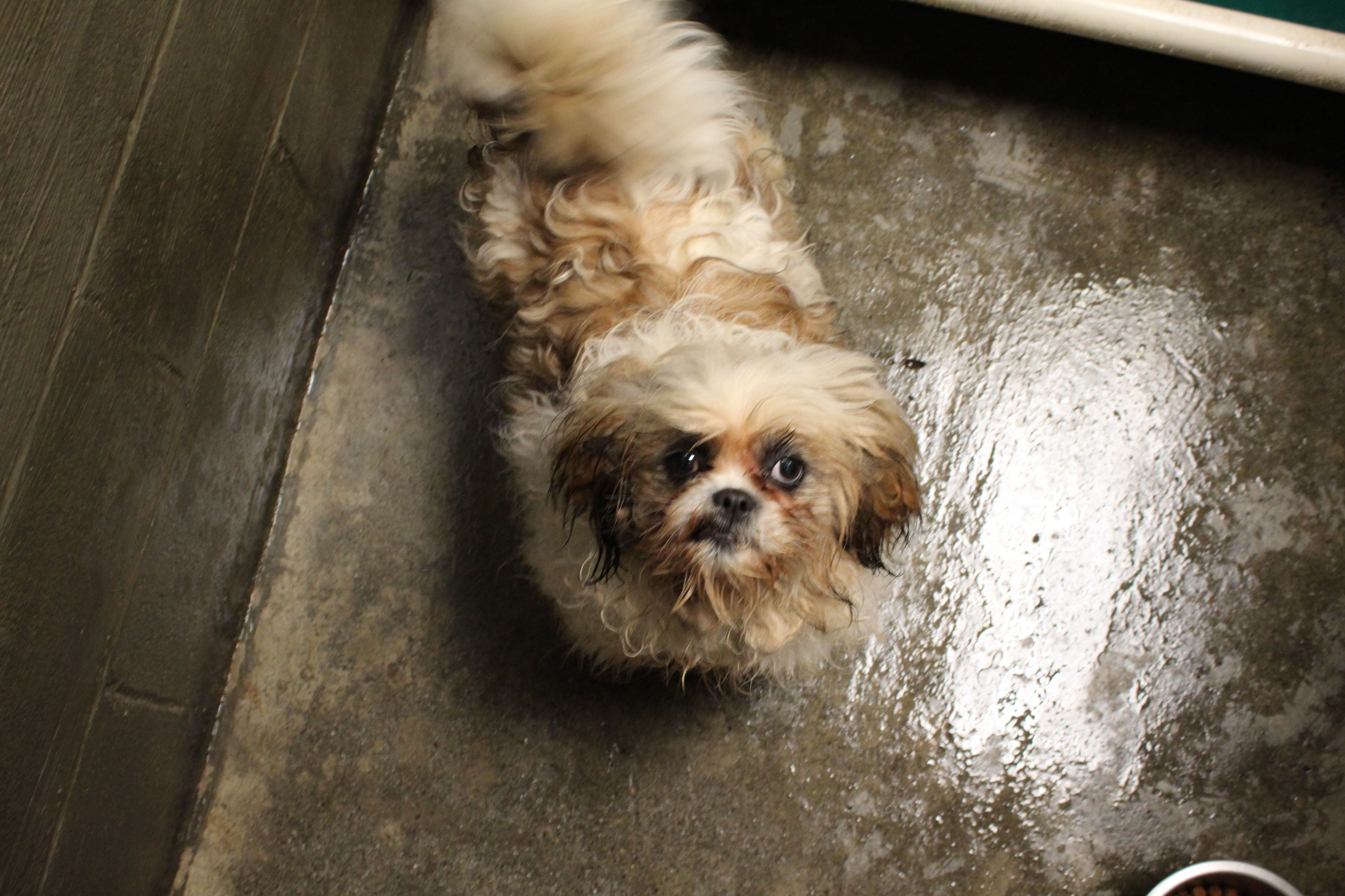 This Gal Was A Lost Dog In Crescent City And Is In The Dog Pound Now She Is A Schitzu Or Lhasa Apso Maybe She Needs Her Family To Dog Pounds