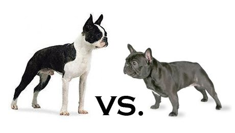 Pin By Amber Docter On Man S Bestfriend Boston Terrier Boston
