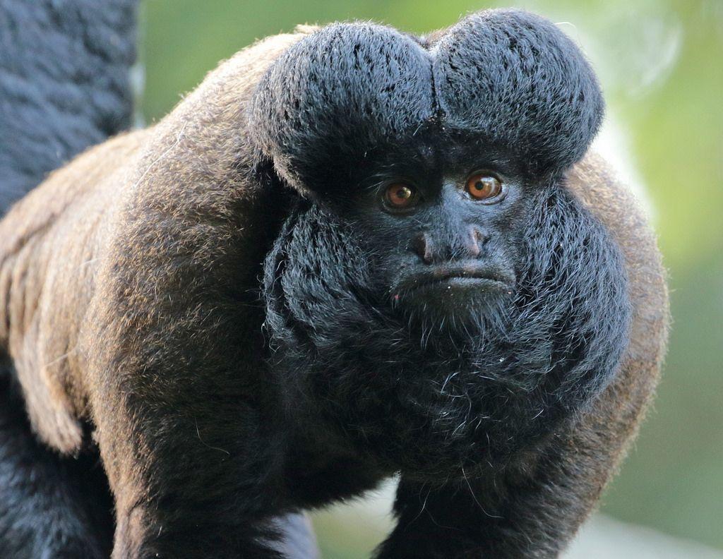 black bearded saki