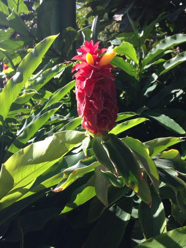 Ginger Costus Species An Ornamental Ginger Relative Many Colors Available Plant Leaves Plants Species