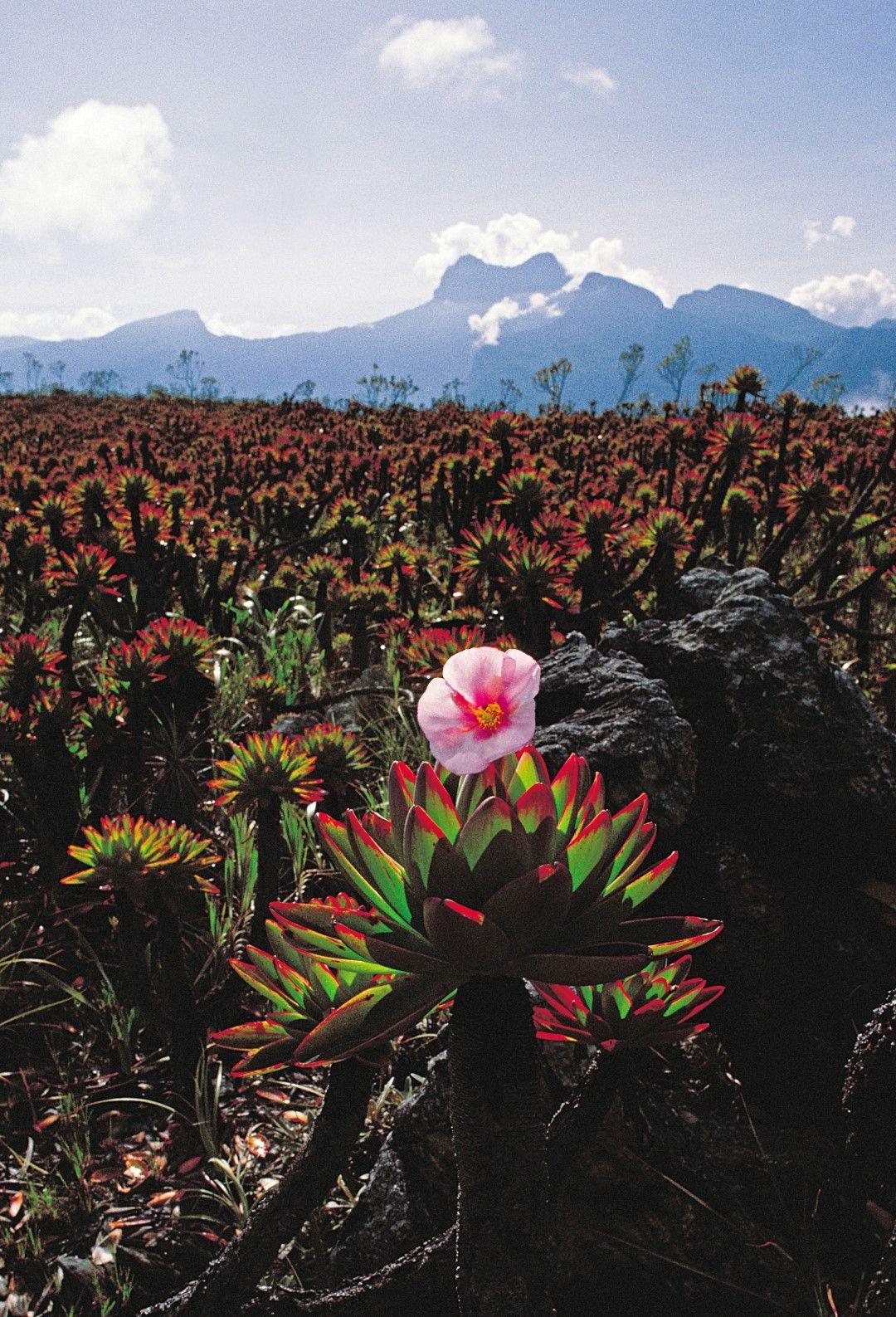 Venezuela El Cerro de La Neblina es un tepuy con aspecto de meseta formado por ...