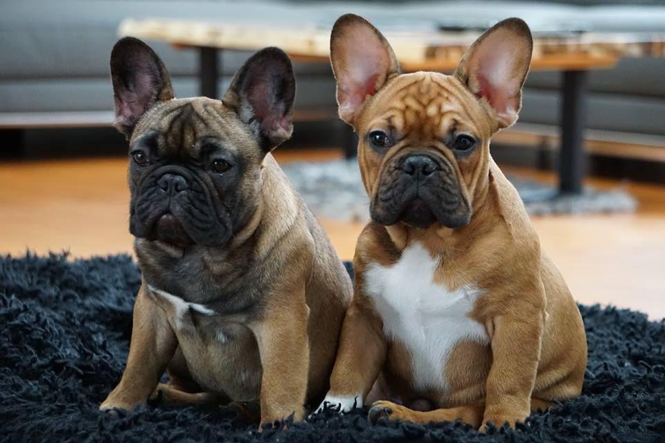 Trevorlewoof On Twitter Franzosische Bulldogge Bulldogge Franzosisch