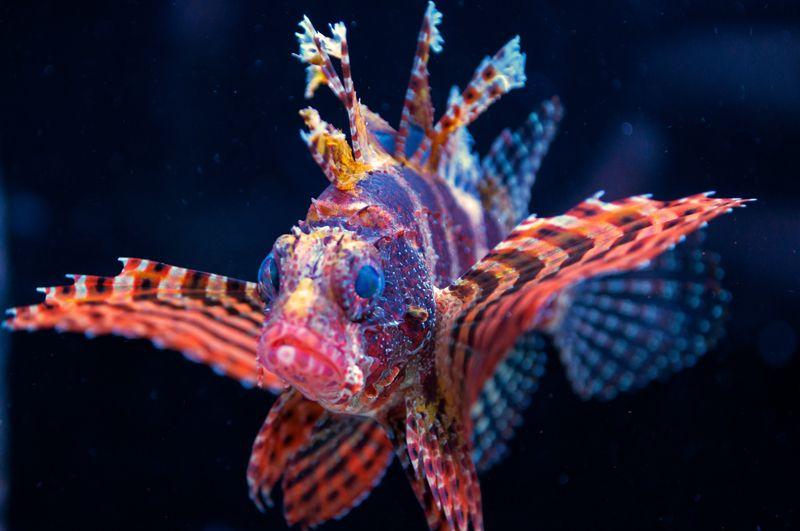 Fuzzy Dwarf Lionfish Lion Fish Colorful Fish Animal Groups