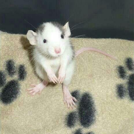 Sweetie Baby Rats Pet Rats Pet Mice